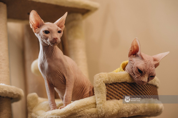 """Diện kiến đàn mèo không lông Sphynx đắt đỏ ở Hà Nội: Bên ngoài """"hổ báo cáo chồn, bên trong nhiều tiền và hiền lắm luôn - Ảnh 2."""