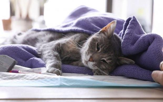 Hong Kong xác định 1 con mèo dương tính với virus SARS-CoV-2 - Ảnh 1.