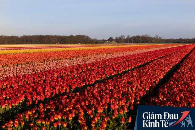 Buộc phải tiêu huỷ 140 triệu bông hoa tulip do Covid-19, từ nông dân cho đến ông chủ công ty sản xuất hoa lớn nhất Hà Lan đều đứng nhìn với sự bất lực - Ảnh 2.