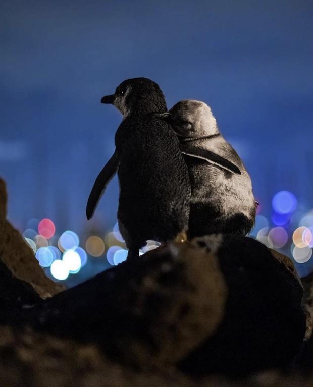 Khoảnh khắc đôi chim cánh cụt khoác vai nhau, cùng thưởng thức bầu trời đêm lung linh đầy lãng mạn và câu chuyện tình buồn phía sau - Ảnh 1.