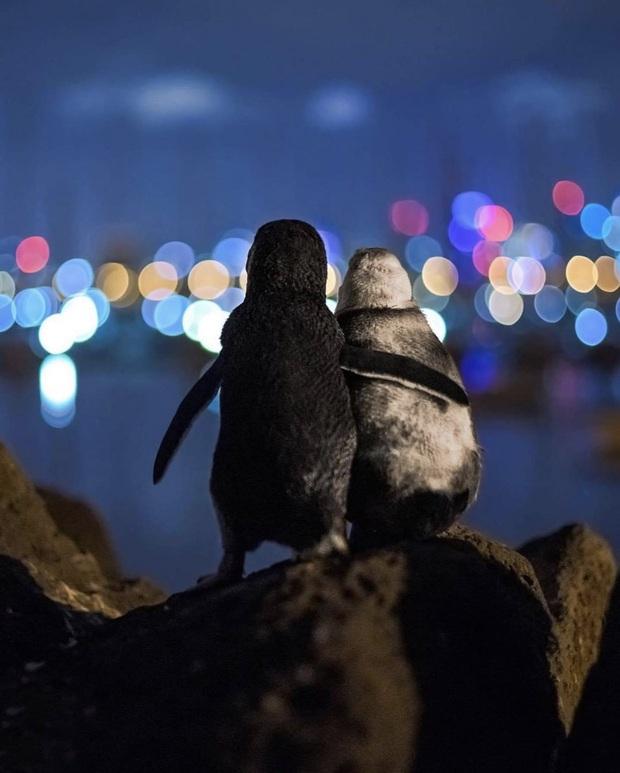 Khoảnh khắc đôi chim cánh cụt khoác vai nhau, cùng thưởng thức bầu trời đêm lung linh đầy lãng mạn và câu chuyện tình buồn phía sau - Ảnh 2.