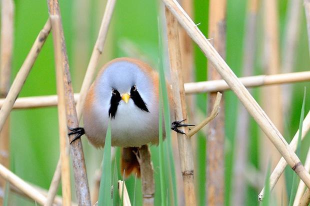 Nhìn như cục thịt di động nhưng loài chim này lại sở hữu 1 tuyệt kỹ làm xiếc siêu đẳng - Ảnh 3.