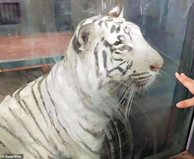 Bị nuôi nhốt lâu ở nơi quá chật hẹp, hổ trắng thất thểu không ngừng đi theo vòng tròn khiến nhiều người lo lắng - Ảnh 3.