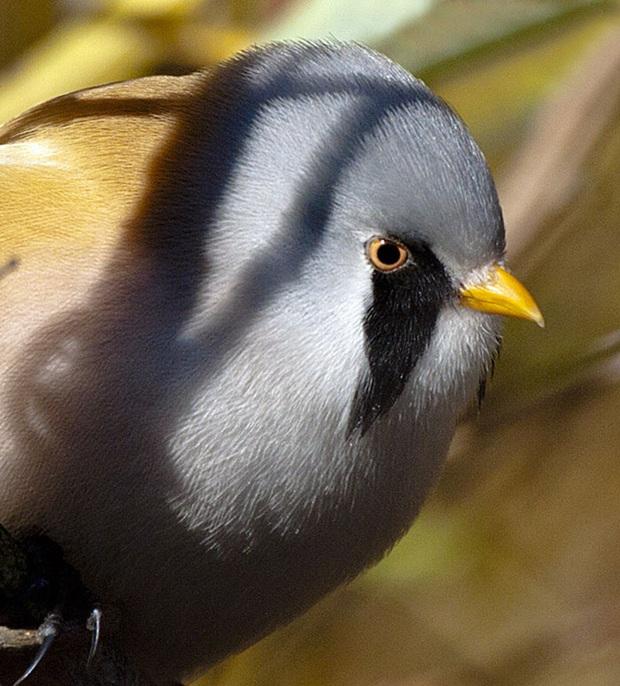 Nhìn như cục thịt di động nhưng loài chim này lại sở hữu 1 tuyệt kỹ làm xiếc siêu đẳng - Ảnh 5.
