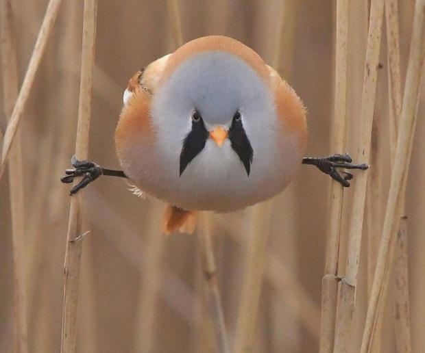 Nhìn như cục thịt di động nhưng loài chim này lại sở hữu 1 tuyệt kỹ làm xiếc siêu đẳng - Ảnh 2.
