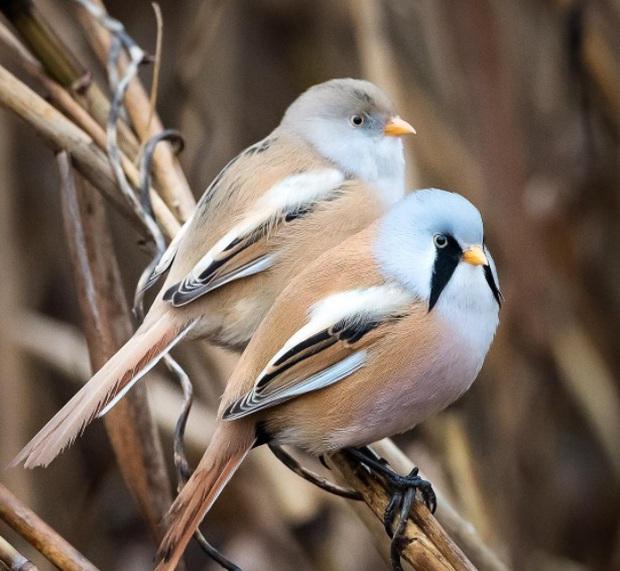 Nhìn như cục thịt di động nhưng loài chim này lại sở hữu 1 tuyệt kỹ làm xiếc siêu đẳng - Ảnh 6.