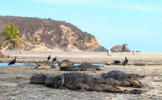 Mặt biển phát sáng sau 60 năm, cá sấu tràn lên bờ ở Mexico giữa lúc cả nước phong tỏa vì dịch Covid-19 - Ảnh 2.
