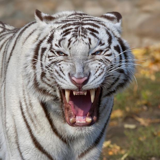 Điểm danh những loài vật có cú cắn uy lực nhất hành tinh, sư tử còn phải ngậm ngùi đứng ngoài Top 10 - Ảnh 10.