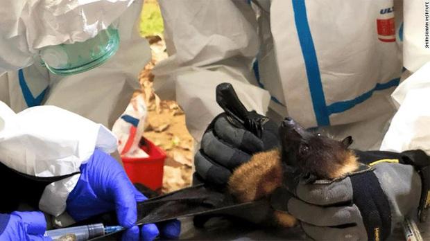 Chuyện về biệt đội săn dơi: Những người liều mạng với virus chết chóc nhất bậc nhất, phát hiện tổ tiên của Covid-19 từ nhiều năm trước - Ảnh 5.