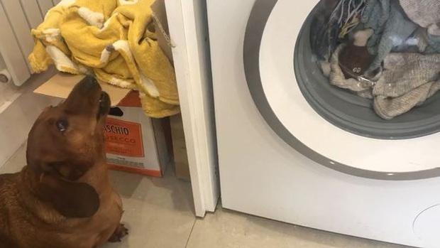 Đồ chơi yêu thích bị cho vào máy giặt quay mòng mòng, chú chó đứng ngóng và than khóc suốt 1 giờ liền - Ảnh 1.