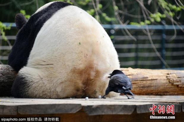 Bức xúc với truyền thống nhổ lông gấu trúc làm tổ của nhiều thế hệ quạ đen, cộng đồng mạng đồng loạt đòi phạt thủ phạm thật nặng - Ảnh 3.