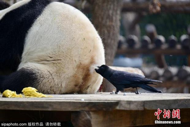 Bức xúc với truyền thống nhổ lông gấu trúc làm tổ của nhiều thế hệ quạ đen, cộng đồng mạng đồng loạt đòi phạt thủ phạm thật nặng - Ảnh 5.