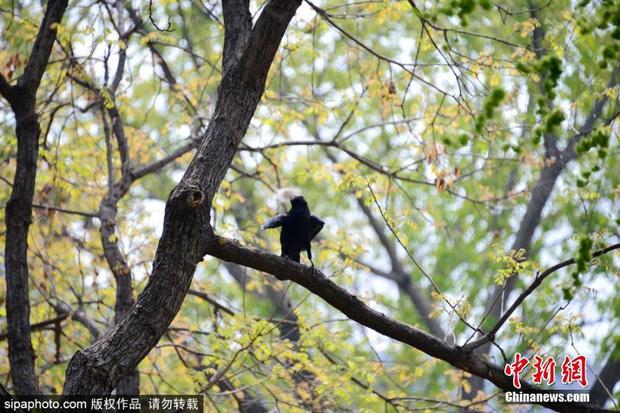 Bức xúc với truyền thống nhổ lông gấu trúc làm tổ của nhiều thế hệ quạ đen, cộng đồng mạng đồng loạt đòi phạt thủ phạm thật nặng - Ảnh 6.