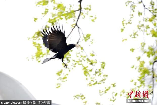 Bức xúc với truyền thống nhổ lông gấu trúc làm tổ của nhiều thế hệ quạ đen, cộng đồng mạng đồng loạt đòi phạt thủ phạm thật nặng - Ảnh 7.