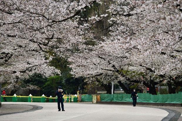 Mùa hoa anh đào buồn vì vắng khách du lịch tại Nhật Bản: Người kinh doanh méo mặt thế này coi như xong, cư dân thích thú trước sự bình yên hiếm có - Ảnh 1.