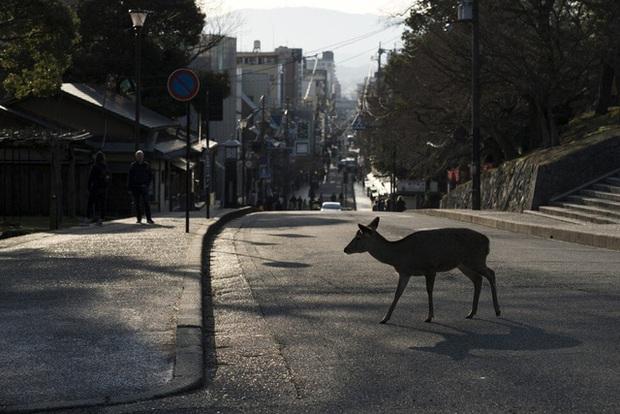Mùa hoa anh đào buồn vì vắng khách du lịch tại Nhật Bản: Người kinh doanh méo mặt thế này coi như xong, cư dân thích thú trước sự bình yên hiếm có - Ảnh 2.