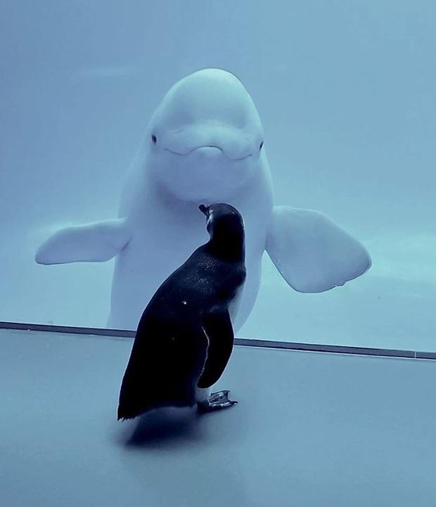 Cuộc gặp gỡ hiếm có khó tìm mà yêu không chịu nổi của đại diện Nam Cực và Bắc Cực: Chim cánh cụt đi lang thang trong thủy cung đóng cửa bắt gặp cá voi trắng - Ảnh 2.
