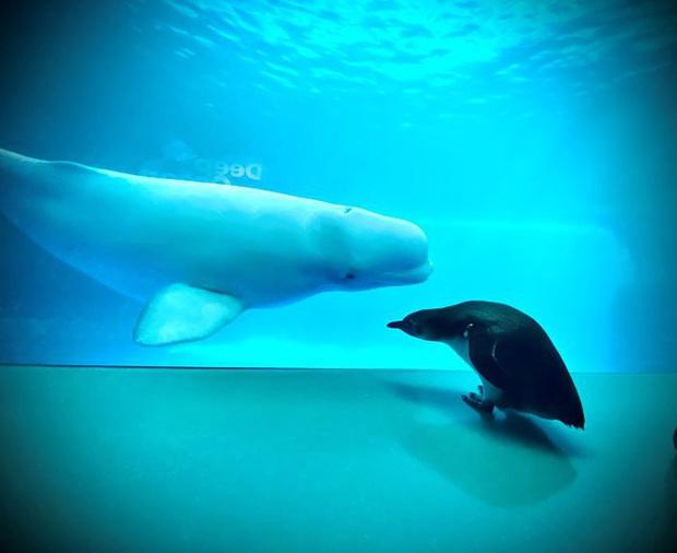 Cuộc gặp gỡ hiếm có khó tìm mà yêu không chịu nổi của đại diện Nam Cực và Bắc Cực: Chim cánh cụt đi lang thang trong thủy cung đóng cửa bắt gặp cá voi trắng - Ảnh 3.
