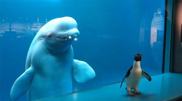 Cuộc gặp gỡ hiếm có khó tìm mà yêu không chịu nổi của đại diện Nam Cực và Bắc Cực: Chim cánh cụt đi lang thang trong thủy cung đóng cửa bắt gặp cá voi trắng - Ảnh 4.