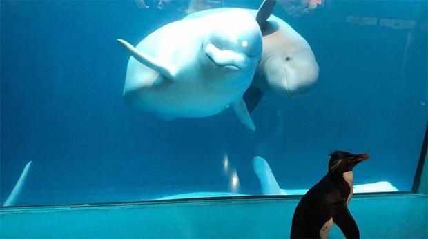 Cuộc gặp gỡ hiếm có khó tìm mà yêu không chịu nổi của đại diện Nam Cực và Bắc Cực: Chim cánh cụt đi lang thang trong thủy cung đóng cửa bắt gặp cá voi trắng - Ảnh 8.