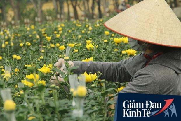 """""""Thủ phủ"""" hoa tại Hà Nội nở rộ giữa dịch COVID-19: Tưởng thắng vụ mà thành bại, hoa cười nhưng người khóc - Ảnh 2."""