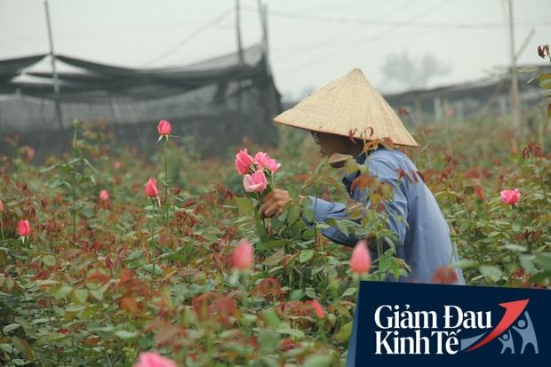 """""""Thủ phủ"""" hoa tại Hà Nội nở rộ giữa dịch COVID-19: Tưởng thắng vụ mà thành bại, hoa cười nhưng người khóc - Ảnh 8."""