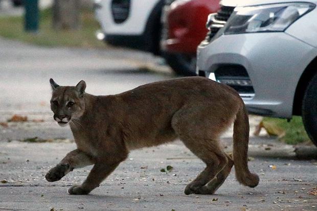 Tranh thủ lúc loài người đang ở nhà cách ly xã hội, hàng loạt loài động vật đều đổ bộ xâm chiếm đường phố - Ảnh 9.