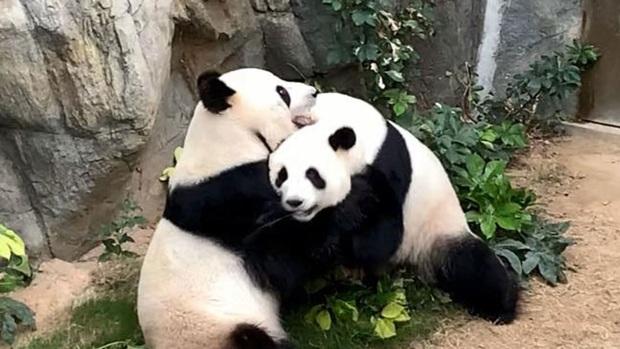 Sau 10 năm ròng rã chờ đợi, cặp gấu trúc ở sở thú Hong Kong cuối cùng cũng chịu giao phối khi nơi này đóng cửa do Covid-19 - Ảnh 1.