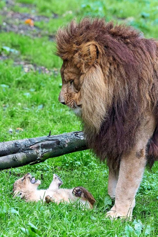 Làm cha khó lắm: Mẹ vắng nhà, sư tử bố bất lực trước lũ con nghịch như quỷ khiến dân mạng vừa buồn cười vừa thương - Ảnh 2.
