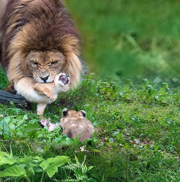 Làm cha khó lắm: Mẹ vắng nhà, sư tử bố bất lực trước lũ con nghịch như quỷ khiến dân mạng vừa buồn cười vừa thương - Ảnh 1.