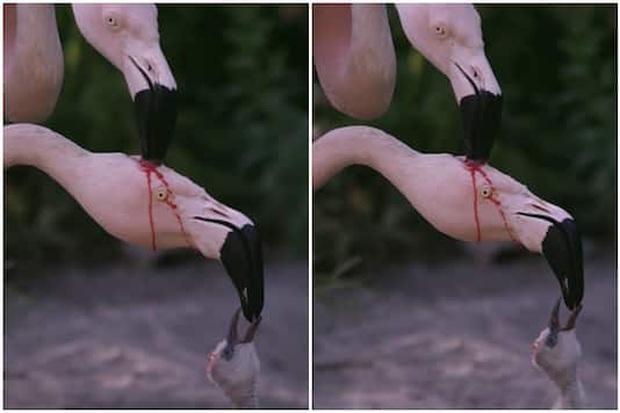 Dân mạng giật mình kinh hãi với clip hồng hạc mổ đầu nhau lấy máu nuôi con, nhưng khi biết lý do thì ai cũng cảm thấy xao xuyến - Ảnh 2.
