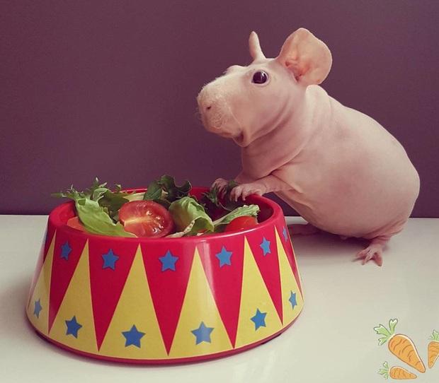 Giống chuột lang trụi lông khiến ai nhìn cũng yêu vì vẻ ngoài ú nu y hệt hà mã phiên bản mini - Ảnh 4.
