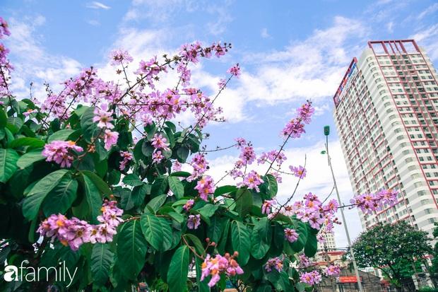 Trở lại cuộc sống bộn bề như trước, có mấy ai nhận ra Hà Nội đang trong một mùa hoa bằng lăng đẹp tuyệt vời - Ảnh 1.