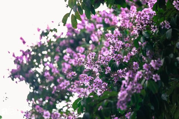 Trở lại cuộc sống bộn bề như trước, có mấy ai nhận ra Hà Nội đang trong một mùa hoa bằng lăng đẹp tuyệt vời - Ảnh 8.