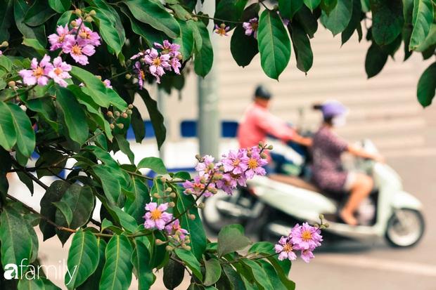 Trở lại cuộc sống bộn bề như trước, có mấy ai nhận ra Hà Nội đang trong một mùa hoa bằng lăng đẹp tuyệt vời - Ảnh 9.