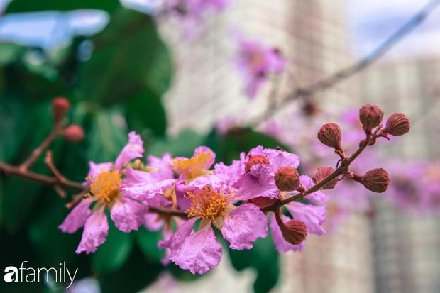 Trở lại cuộc sống bộn bề như trước, có mấy ai nhận ra Hà Nội đang trong một mùa hoa bằng lăng đẹp tuyệt vời - Ảnh 10.