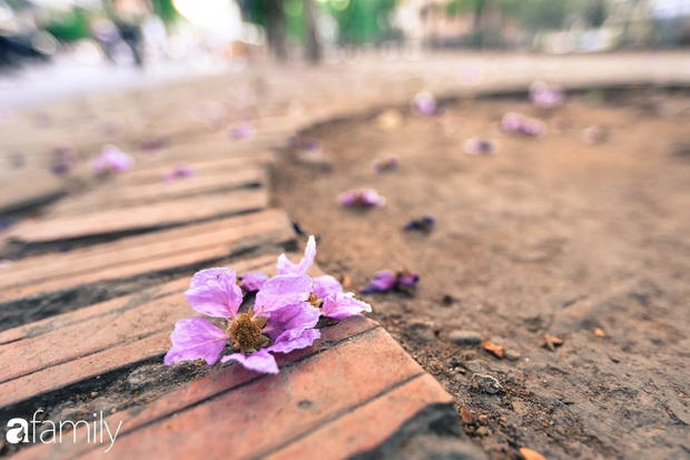 Trở lại cuộc sống bộn bề như trước, có mấy ai nhận ra Hà Nội đang trong một mùa hoa bằng lăng đẹp tuyệt vời - Ảnh 12.