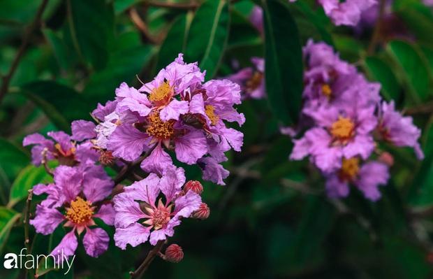 Trở lại cuộc sống bộn bề như trước, có mấy ai nhận ra Hà Nội đang trong một mùa hoa bằng lăng đẹp tuyệt vời - Ảnh 3.