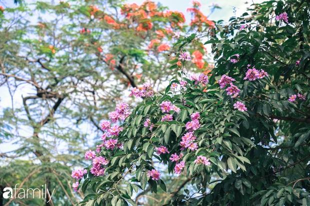 Trở lại cuộc sống bộn bề như trước, có mấy ai nhận ra Hà Nội đang trong một mùa hoa bằng lăng đẹp tuyệt vời - Ảnh 4.