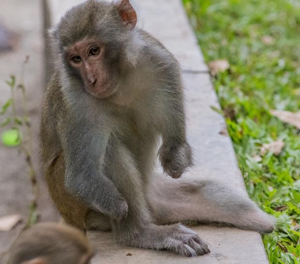 Xót xa những con khỉ cụt tay chân, hở xương tại Sơn Trà: Bị bắn phá, biết chạy về đâu? - Ảnh 3.