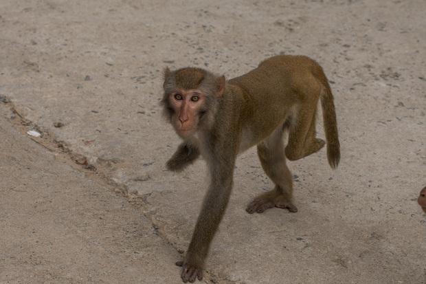 Xót xa những con khỉ cụt tay chân, hở xương tại Sơn Trà: Bị bắn phá, biết chạy về đâu? - Ảnh 6.