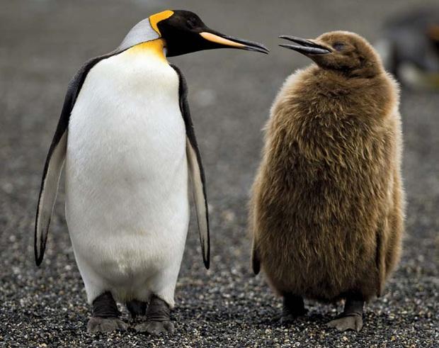 Hít phải quá nhiều... phân chim cánh cụt, giới khoa học Nam Cực đang có phản ứng rất lạ và lý do phía sau khiến ai cũng phải bật cười - Ảnh 2.