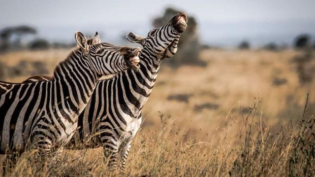 10 bức ảnh có thể giành giải Ảnh động vật hoang dã hài hước 2020 - Ảnh 7.
