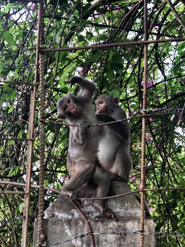 Bầy khỉ mình đầy thương tích sống lay lắt ở bán đảo Sơn Trà bây giờ ra sao? - Ảnh 1.