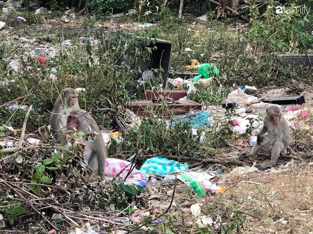 Bầy khỉ mình đầy thương tích sống lay lắt ở bán đảo Sơn Trà bây giờ ra sao? - Ảnh 3.