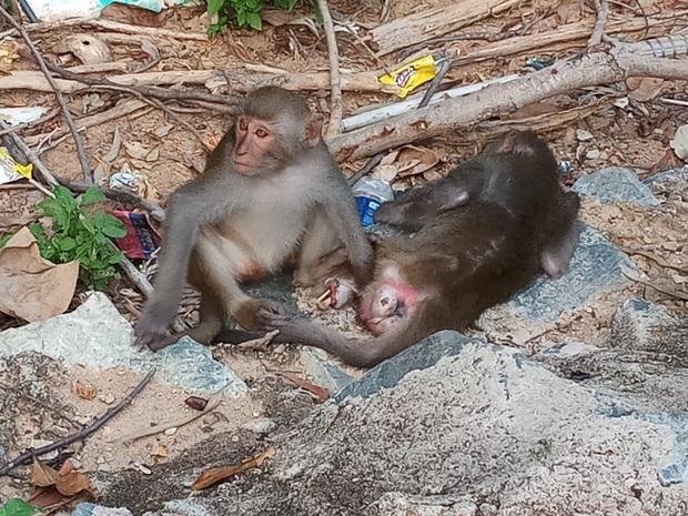 Bầy khỉ mình đầy thương tích sống lay lắt ở bán đảo Sơn Trà bây giờ ra sao? - Ảnh 4.