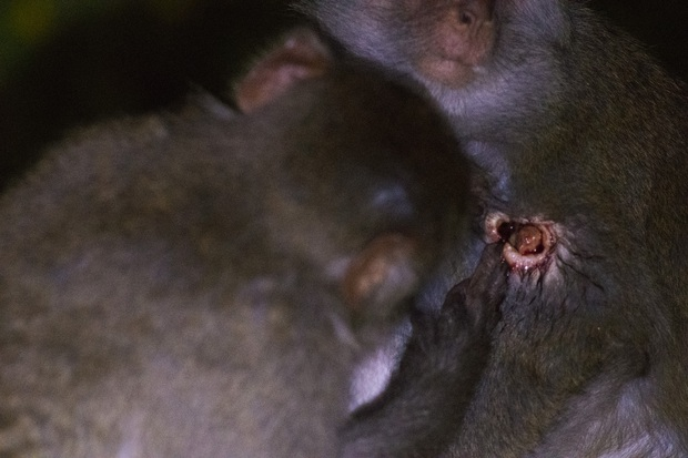 Bầy khỉ mình đầy thương tích sống lay lắt ở bán đảo Sơn Trà bây giờ ra sao? - Ảnh 5.