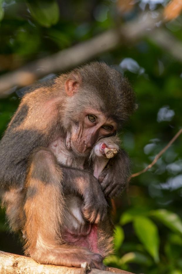 Bầy khỉ mình đầy thương tích sống lay lắt ở bán đảo Sơn Trà bây giờ ra sao? - Ảnh 6.