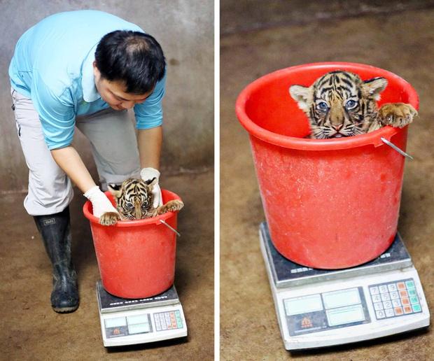 Nhân viên chăm sóc động vật chia sẻ trăm phương ngàn kế hết sức đáng yêu để có thể cân các bé động vật sơ sinh - Ảnh 2.