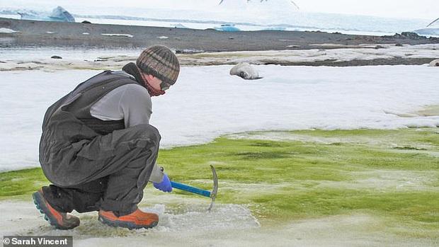 Nam Cực tuyết trắng bỗng nhiên bị phủ xanh, nhưng lý do lần này không hẳn đã thuộc về con người - Ảnh 1.